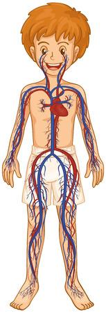 Circulatory system in human boy illustration Illustration