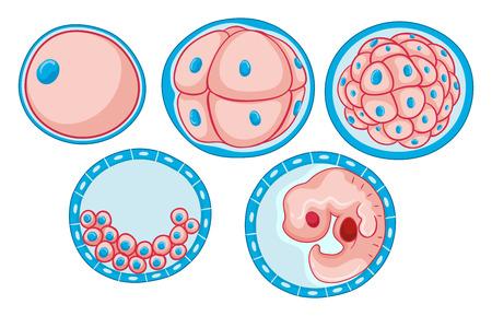 Diagramme processus de projection de croissance embryon illustration