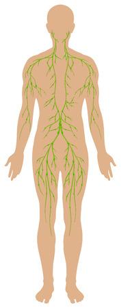ser humano: Diagrama linf�tico en el ser humano ilustraci�n