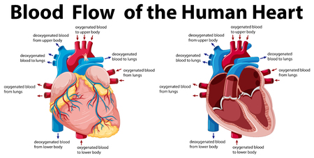 Blood flow of the human heart illustration Illustration