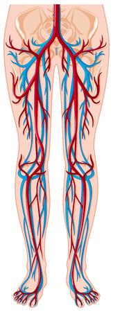 blood vessels: Blood vessels in human body illustration