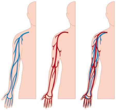 Les vaisseaux sanguins dans l'illustration de la main humaine Vecteurs