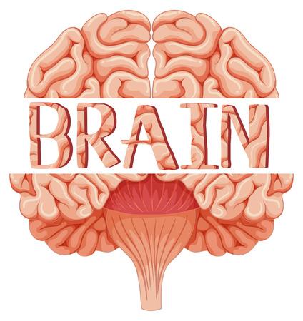 closer: Human brain in closer look illustration