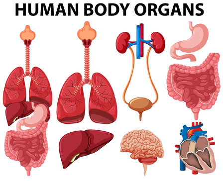 Different type of human body organs illustration