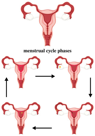 menstrual: Menstrual cycle phases in human illustration