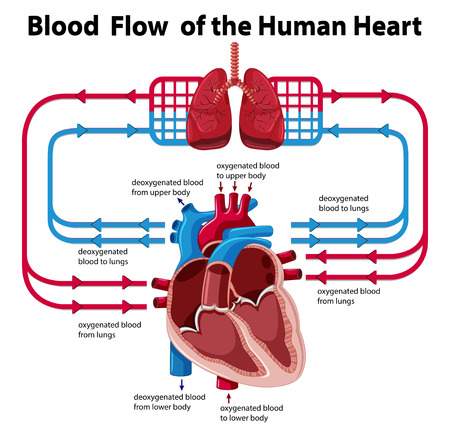 blood flow: Chart showing blood flow of human heart illustration