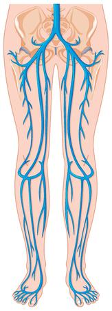 vein: Blood vessels in human body illustration