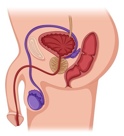 Prostate gland in male human illustration