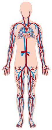 Blood vessels in human body illustration