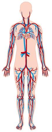 vasos sanguineos: Los vasos sanguíneos de la ilustración cuerpo humano