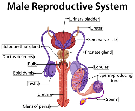 male sperm: Chart showing male reproductive system illustration