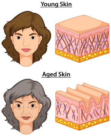 clipart wrinkles: Woman with young and aged skin illustration