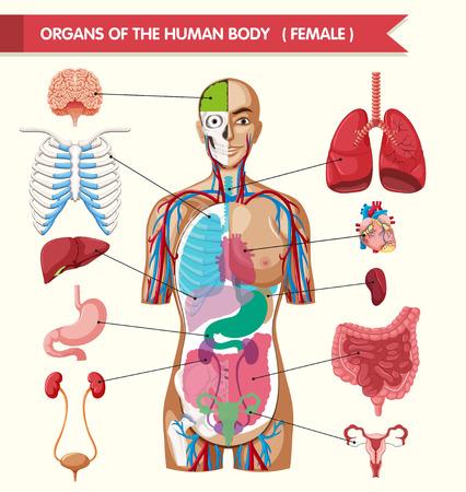 Organs of the human body diagram illustration