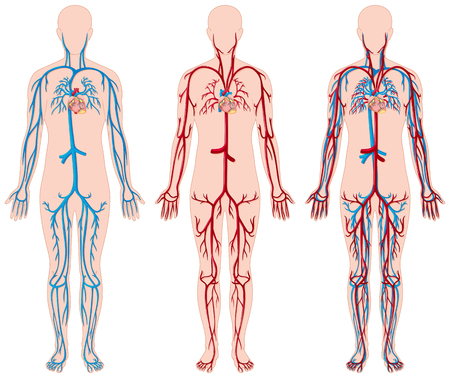 Different diagram of blood vessels in human illustration Vettoriali