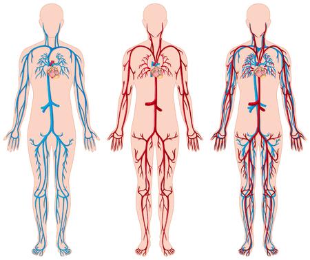 Different diagram of blood vessels in human illustration Illustration