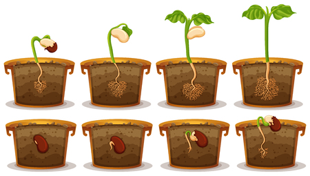 Seed germination in claypot illustration