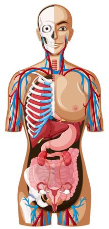白い背景の図の人体解剖学