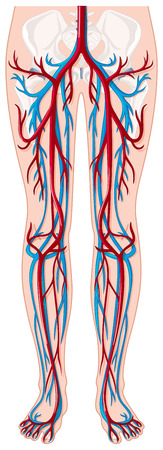 human being: Blood vessels in human being illustration