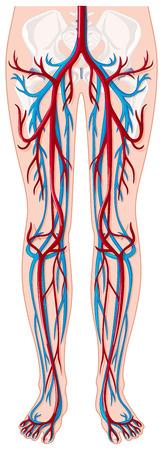 human blood vessel: Blood vessels in human being illustration