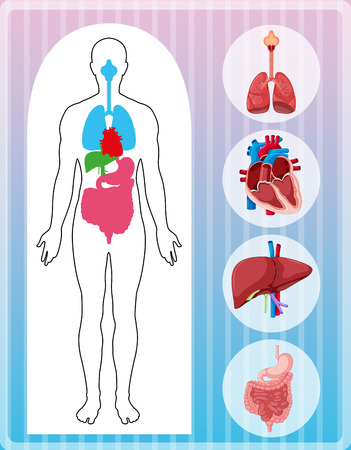 medical drawing: Human anatomy with many organs illustration