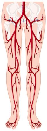 vasos sanguineos: Los vasos sangu�neos de la ilustraci�n cuerpo humano
