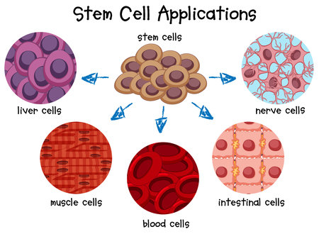 muscle cell: Diagram of different stem cells illustration Illustration