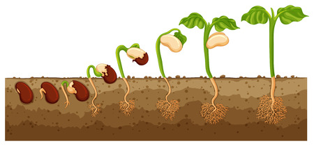 Seed growing into tree  illustration