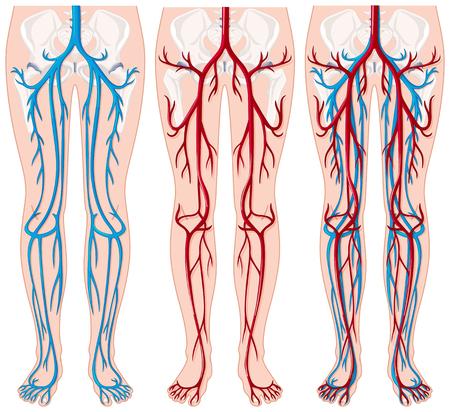 Blood vessels in human legs illustration Illustration