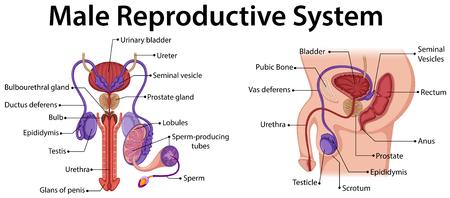 apparato riproduttore: Diagramma che mostra riproduttivo maschile illustrazione del sistema