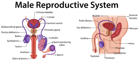Diagram showing male reproductive system illustration Illustration