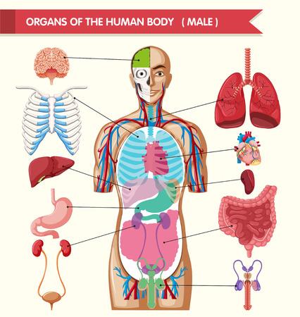 Diagramm zeigt Organe des menschlichen Körpers Illustration Standard-Bild - 59930689
