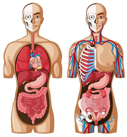anatomie humaine: modèle de l'anatomie humaine avec différents systèmes illustration