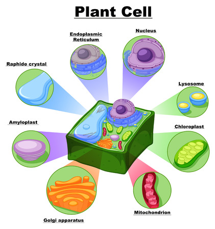 Diagram showing parts of plant cell illustration