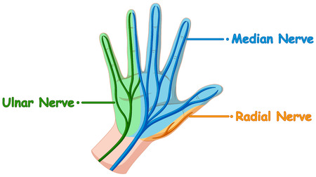 nerve: Diagram showing hand nerve illustration