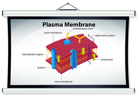membrane: Chart showing plasma membrane illustration