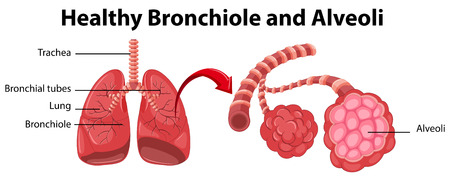 bronchiole: Diagram showing healthy bronchiole and alveoli illustration