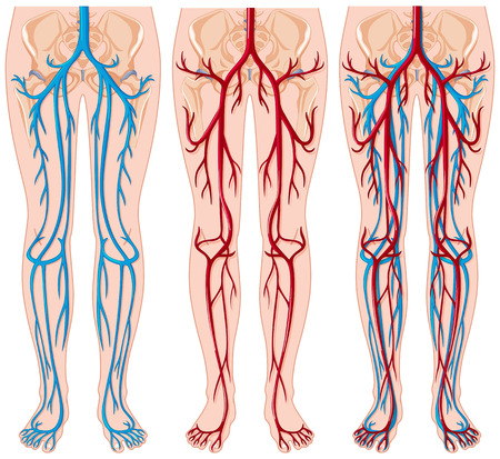 Diagram showing blood vessels in human illustration