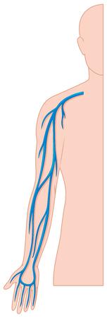 blood vessels: Blood vessels hand in human body illustration