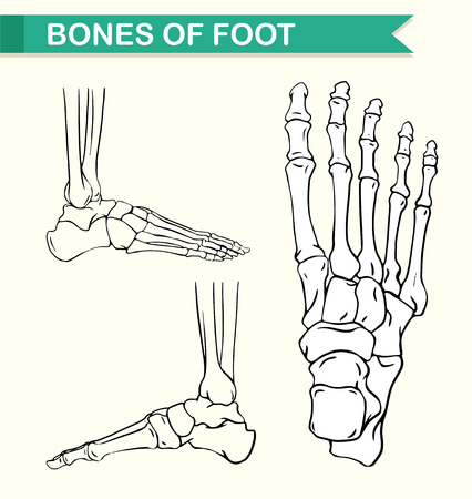 bones of the foot: Diagram showing bones of foot illustration