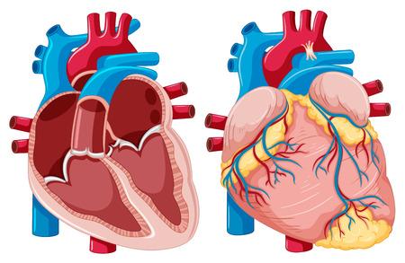 Diagrama Que Muestra El Corazón Humano Ilustración Ilustraciones ...