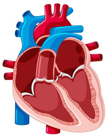 human heart: Diagrama que muestra el interior de la ilustración del corazón humano