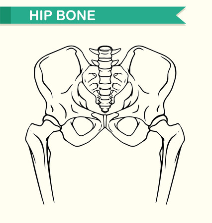 Hip Knochen Im Menschlichen Körper Illustration Lizenzfrei Nutzbare ...