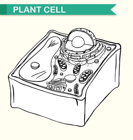 diagrama: Diagrama que muestra la ilustración de células vegetales
