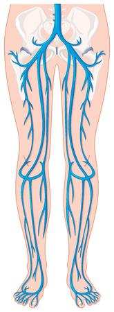 blood vessels: Blood vessels in human legs illustration Illustration