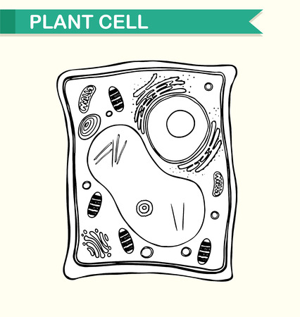plant cell: Diagram showing plant cell in black and white illustration