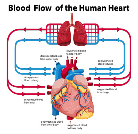 blood circulation: Diagram showing blood flow of human heart illustration Illustration
