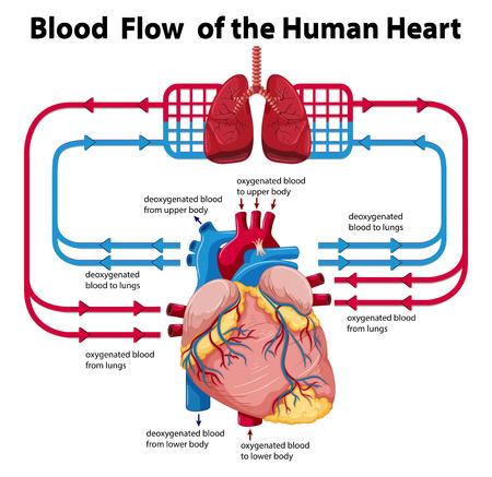 Schematische weergave van de bloedstroom van het menselijk hart illustratie Vector Illustratie