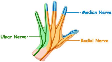 nerve system: Nerve system in human hand illustration Illustration