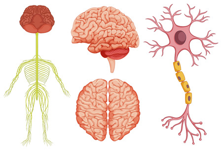 stem cell: Human brain and stem cell illustration