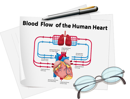 blood flow: Blood flow of human heart on paper illustration